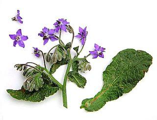 Nodding violet